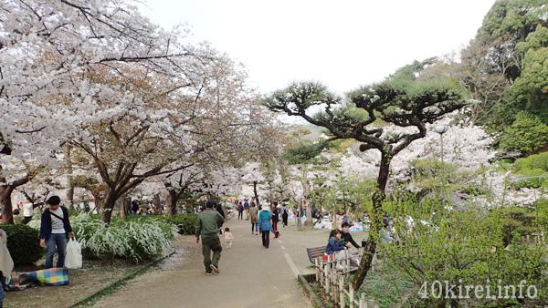 松山市道後公園の桜