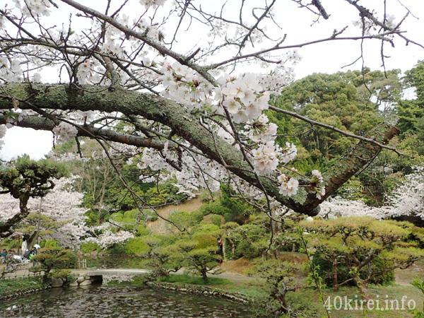 道後公園の桜のアップ