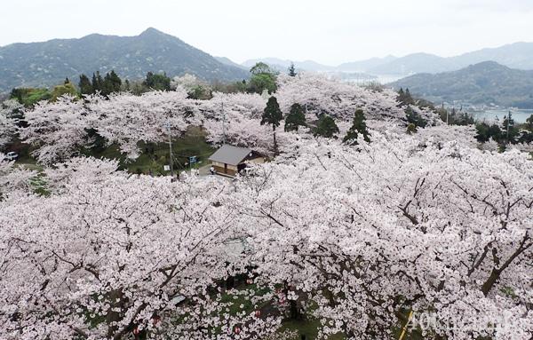 開山公園の1000本桜